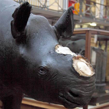 Rhino with horn removed