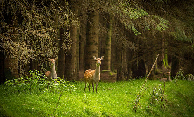 Deer in forest on Dublin Mountains